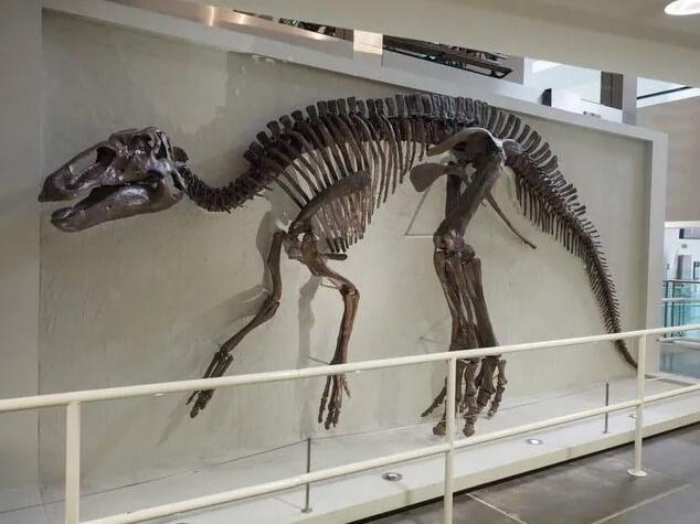 Edmontosaurio-esqueleto