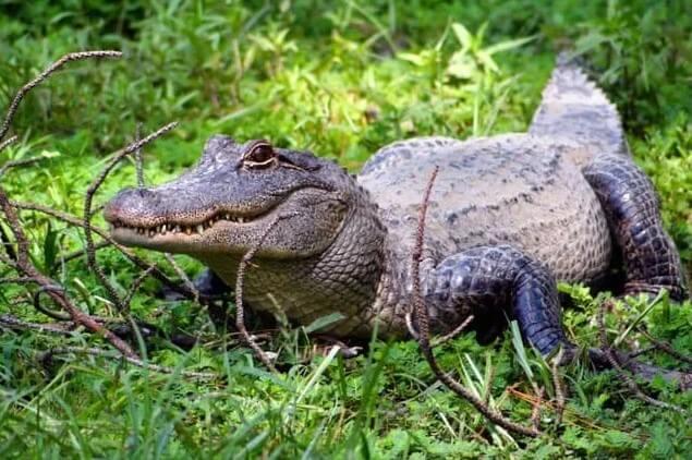 cómo los caimanes están relacionados con los dinosaurios