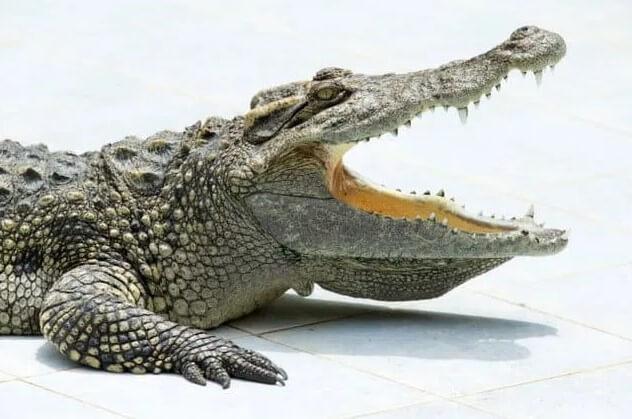 características físicas de los caimanes en comparación con los dinosaurios